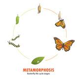 butterfly life cycle metamorphosis - 200878822