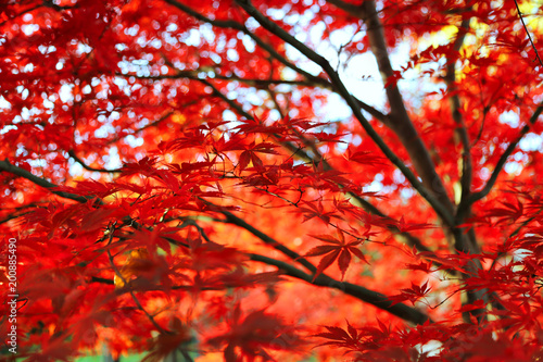 Bright Japanese maple or Acer palmatum leaves on the autumn garden - 200885490