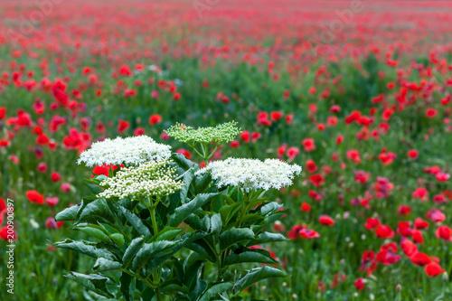 Mohnblumen und blühender Holunder auf dem Feld
