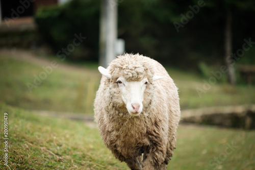 Sticker Cute funny happy sheep at outdoor gerden nature field valley