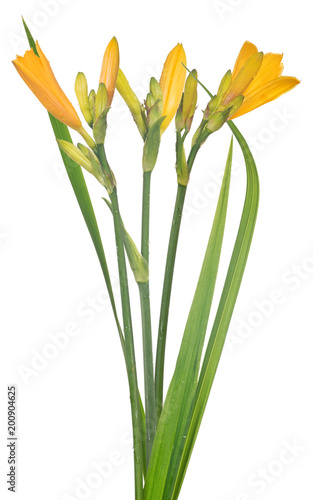 żółty na białym tle mały kwiat lilii