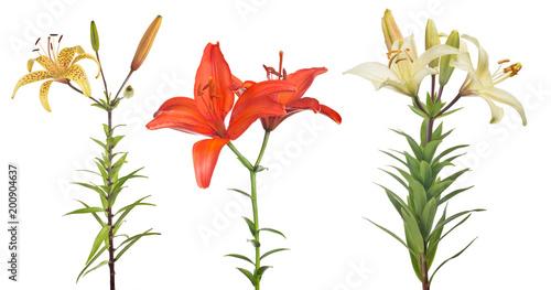 Fototapeta isolated three lily flowers