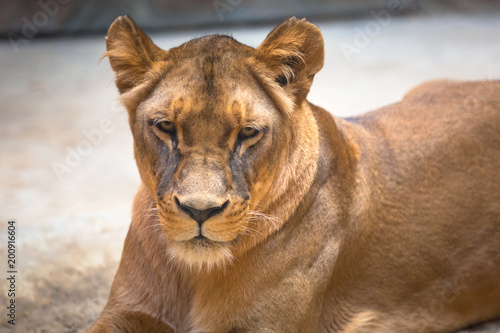 Lion female lying on the ground
