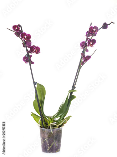 moth orchids in studio - 200917853