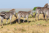 Zebras with a foal on the savannah in the Masai Mara National Reserve - 200918494