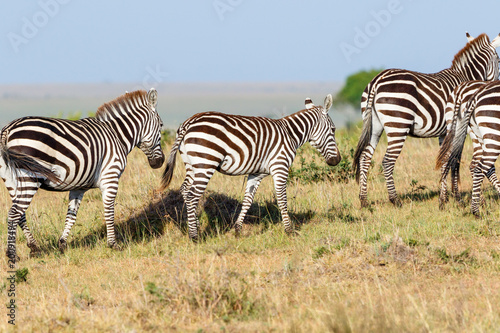 Zebras with a foal on the savannah in the Masai Mara National Reserve