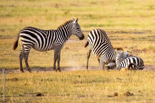 Raufende Zebras in der Savanne Afrikas