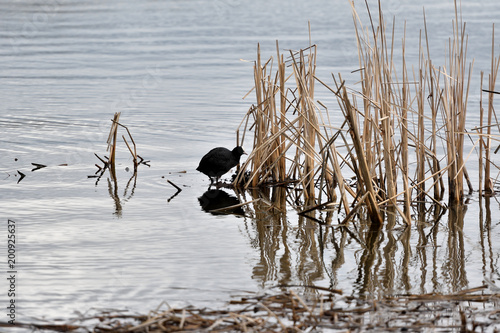 Foto Murales coot water bird swimming on the lake