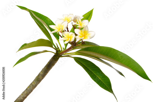 Aluminium Plumeria fresh Frangipani flowers and leaves isolated on white