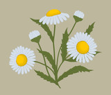 Daisies with leaves on a beige background. Summer flowers. Vector illustration