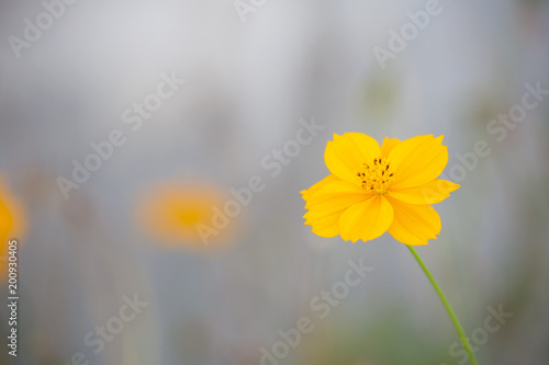 Yellow cosmos or  sulfur cosmos with blurred background.