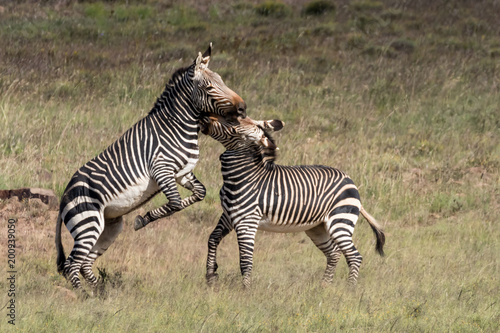Two frolicking cape montain zebra in the Mountain Zebra National Park near Cradock in South Africa
