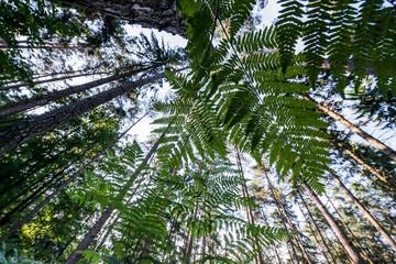 Farnwedel im Wald