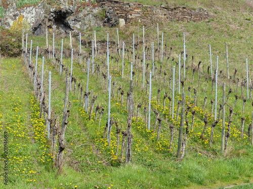 Deurstickers Wijngaard Frühling im Moselweinberg
