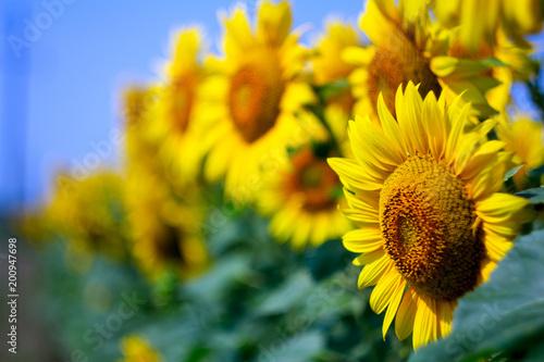 Keuken foto achterwand Geel Sunflower
