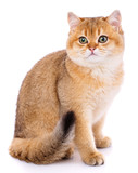 Portrait of a smooth-haired straight Scotch cat on a white