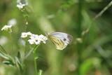 Light Butterfly