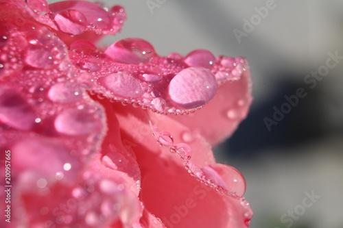 rose et rosée - 200957665