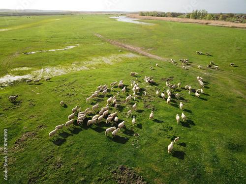Widok z lotu ptaka stada owiec na łące wiosną
