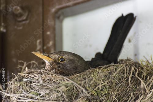 Foto Murales A female goat sitting on a nest under a pergola.