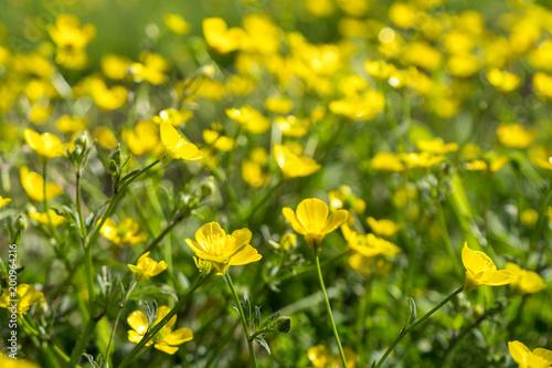Keuken foto achterwand Geel Yellow Buttercup flowers in the field. Ranunculus repens