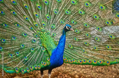 Plexiglas Pauw Peacock