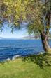 Shady tree along Okanagan lake shore, Naramata.