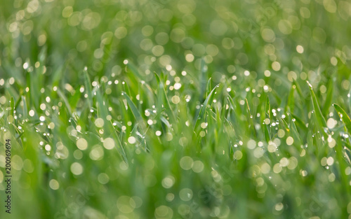 Foto Murales green grass with dew