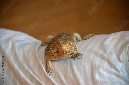 Australian Bearded dragon pet lizard Pogona vitticeps warming up lying on his caretaker