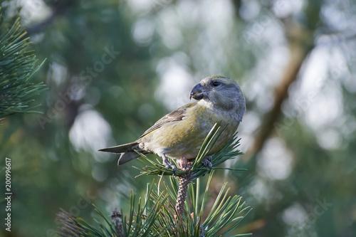 Plexiglas Papegaai parrot crossbill (Loxia pytyopsittacus)