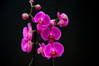 Still life. Orchid with black background.