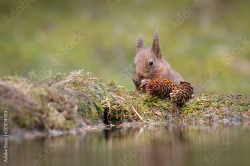 Foto op Canvas Natuur A close up view of a red squirrel eating a nut at the edge of a small pool