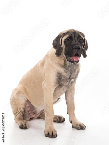 beżowy mastif