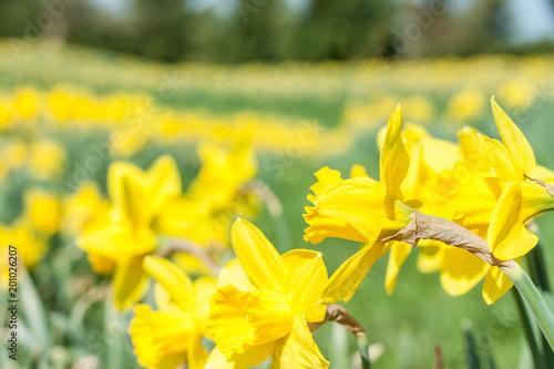 jasne świeże żółte żonkile tło