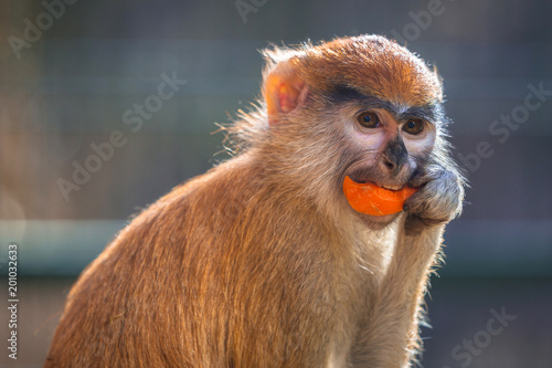 Fotobehang Aap Patas monkey eating carrot