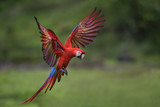 Scarlet Macaw - Ara macao, large beautiful colorful parrot from New World forests, Costa Rica.