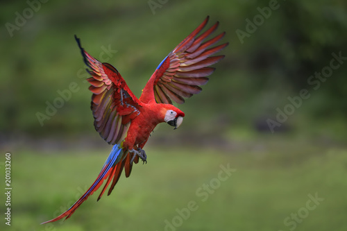 Fototapeta Scarlet Macaw - Ara macao, large beautiful colorful parrot from New World forests, Costa Rica.