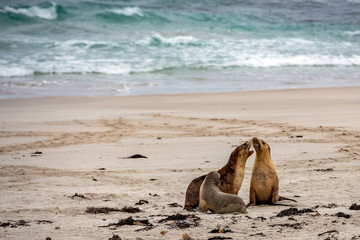 australian sea lion seals on sandy beach background