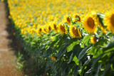 Sunflower plants in field  in early summer selective focus