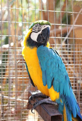 Plexiglas Papegaai blue and yellow parrot, ara ararauna