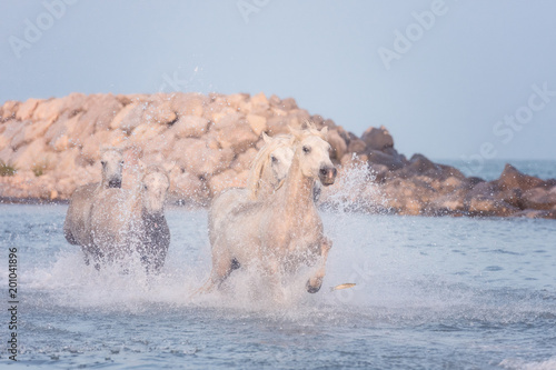 Beautiful white horses run gallop in the water at sunset, National park Camargue, Bouches-du-rhone department, Provence - Alpes - Cote d'Azur region, south France