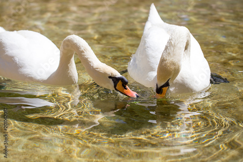 Two swans in love swim in the lake