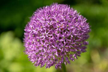 flowers of blooming garlic