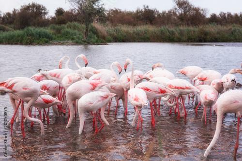 Pink flamingo, birds in the wild nature, ornitological park Pont de Gau, Camargue, south France
