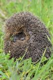 Young european hedgehog - 201051875