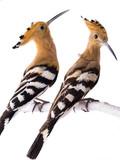 two eurasian Hoopoe