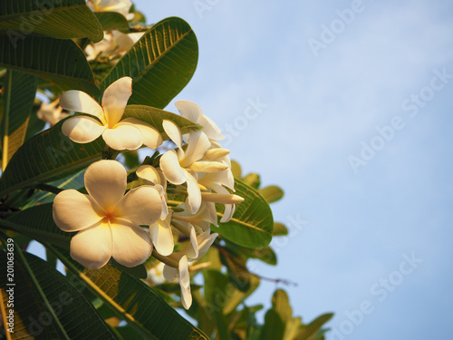 Aluminium Plumeria Beautiful white flowers (Plumeria) on the tree with Sunset and blue sky.