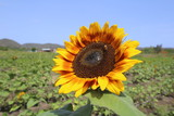rubinsunflower1