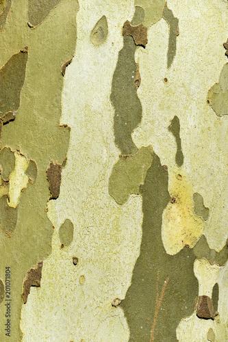 Foto Murales Platane commun, Platanus acerifolia, écorce, tronc