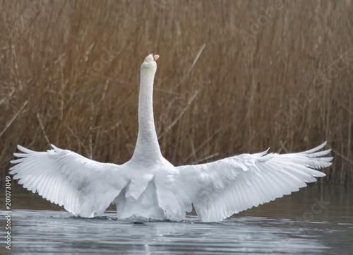 Flügelschlagender Schwan im See
